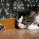 A long-haired black and white cat is eyeing a mouse trying to leave its home.