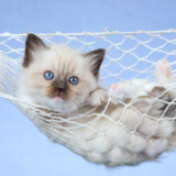 A blue eyed Himalayan kitten is lounging in a miniature pet hammock.