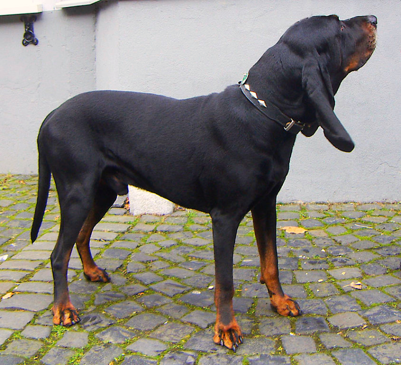 An adult Black and Tan Coonhound is standing on a brick walkway during a summer afternoon.