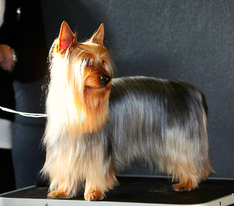 A beautifully groomed Silky Terrier is standing on a show table with a white lead hanging from its neck.