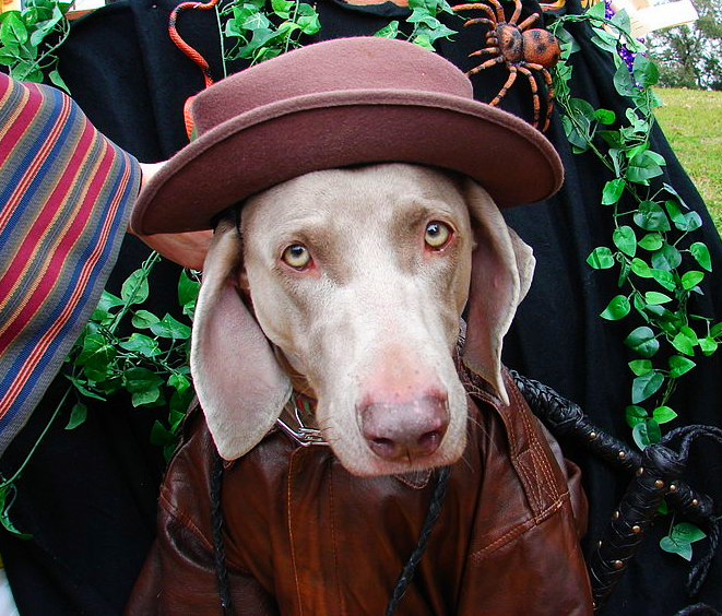 A very happy Weimaraner is dressed up in a dark tan leather jacket and a fancy mauve colored hat with Halloween attire in the background.