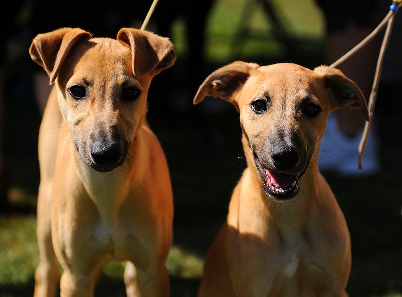 A pair of tan Whippet dogs are standing together on a bright spring day.