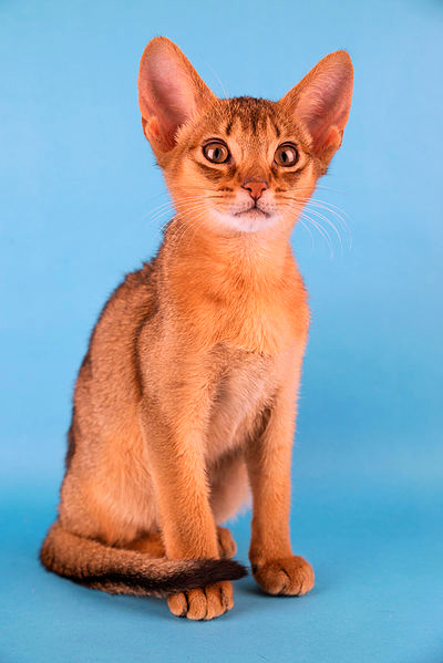 A young Abyssinian cat is posing against a sky blue background.