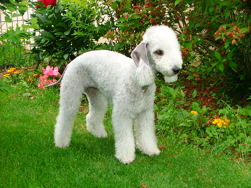 A beautifully groomed white Bedlington Terrier is standing on a lawn in front of a summer flower garden.