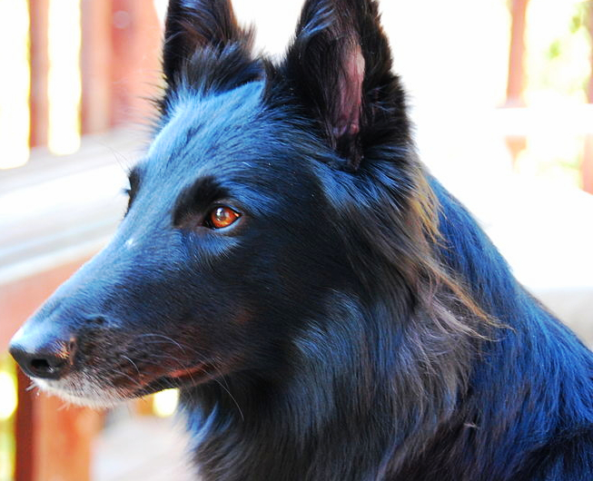 A black Belgian Sheepdog is staring off into the distance on a warm summer day.