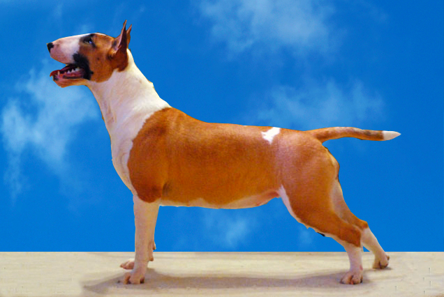 A tan and white Staffordshire Bull Terrier is standing on a tan hard surface with a blue sky background in the background.