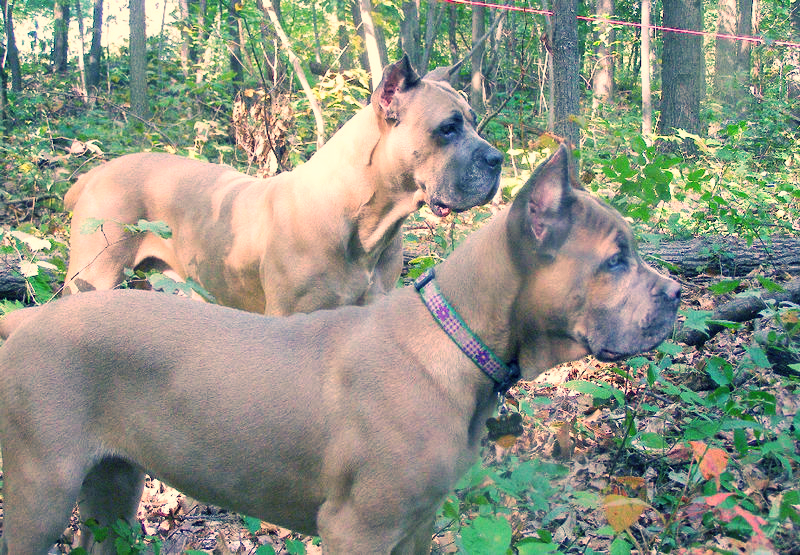 Two fawn colored Cane Corso dogs are standing together in a section of woods during a summer afternoon.