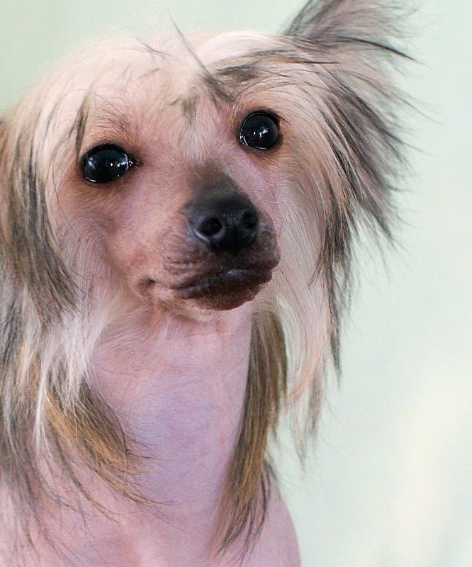 A closeup of a almost hairless Chinese Crested dog with that pouty look on its face.