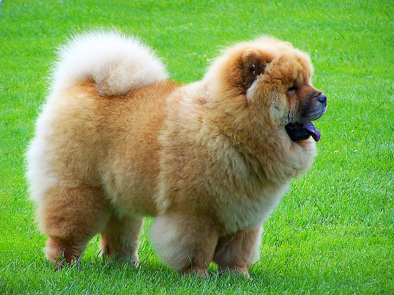 A beautifully groomed tan Chow Chow is standing on a dark green lawn in summer.