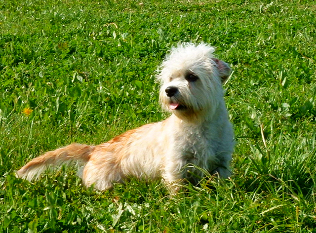 A young, buff colored Dandie Dinmont is sitting on a bed of grass on a summer afternoon.