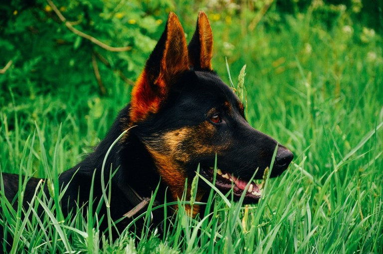 A black and tan German Shepherd is sitting in tall grass.