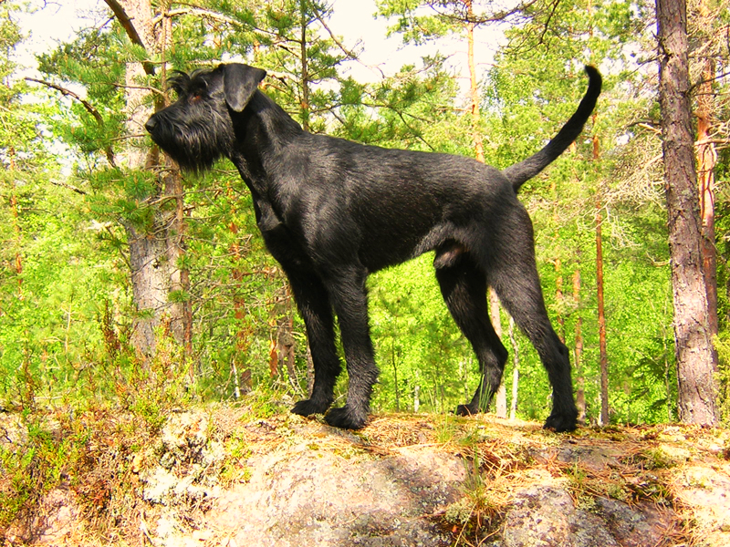 A Giant Schnauzer is standing on a rocky ledge amongst a forest of pine trees.