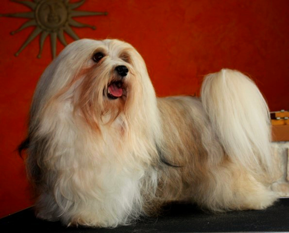 A beautifully groomed havanese is standing on a black grooming table with a brick red wall coloring and bronze sun god as a background.