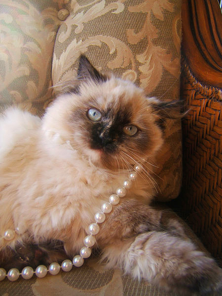 A Himalayan decked out in pearls is lounging on a loveseat made just for it!