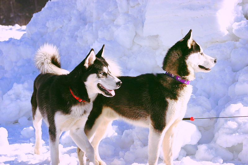 A pair of young Siberian Husky dogs are getting prepared to race during an Alaskan winter.