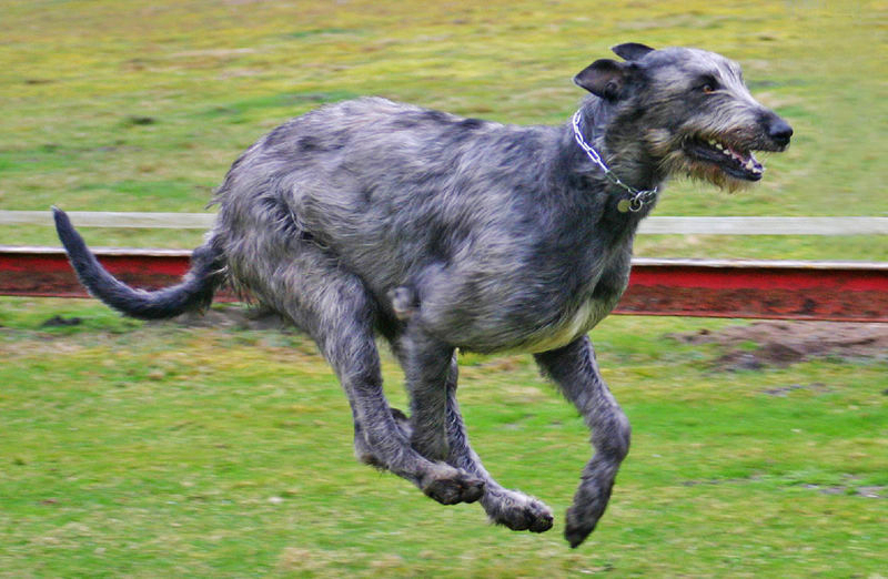 An elegant black and silver Irish Wolfhound is galloping along a grassy area.