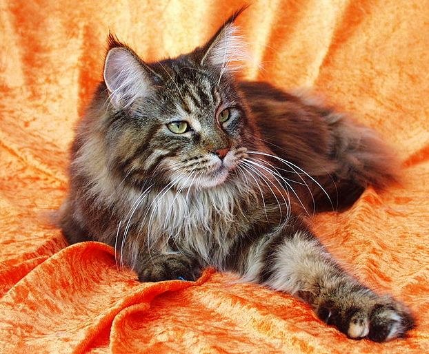 A Grey and White Maine Coon Cat is posing on an orange/peach colored sheet.