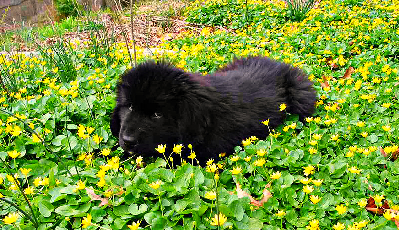 A young Newfoundland is laying in a bed of green plants with small yellow flowers during a warm summer afternoon.