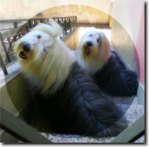 A pair of beautifully groomed Old English Sheepdog animals are looking at the camera through a glass wall.