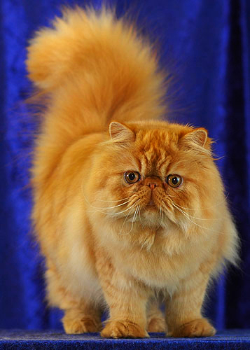 A red mackerel Persian is posing for the camera against a royal blue background.