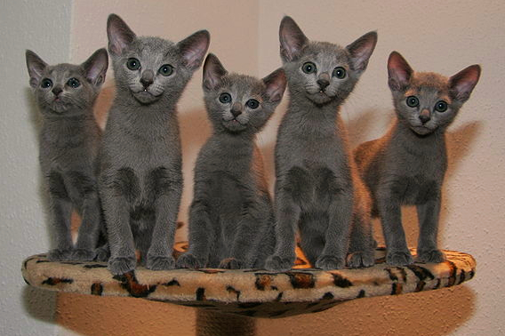 A litter of young Russian Blue kittens are sitting on a cat perch against a white wall.