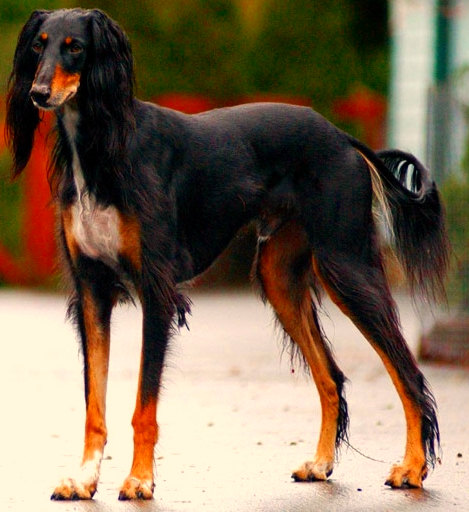 A black, tan and white Saluki is standing at attention on a hard surface with plants in the background.