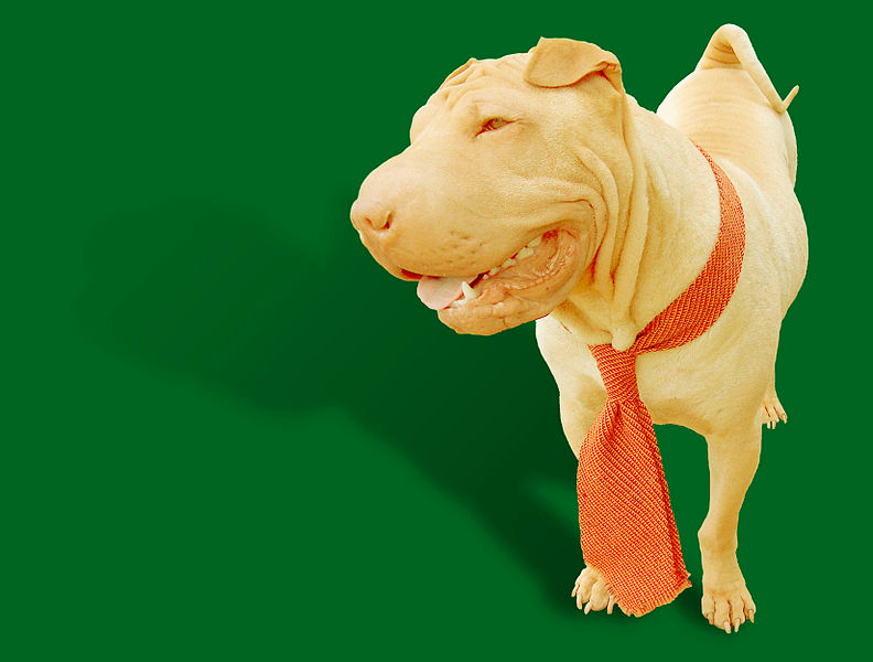 A dilute colored Chinese Shar-Pei with a reddish neck tie around its neck is portrayed against a emerald green backdrop.