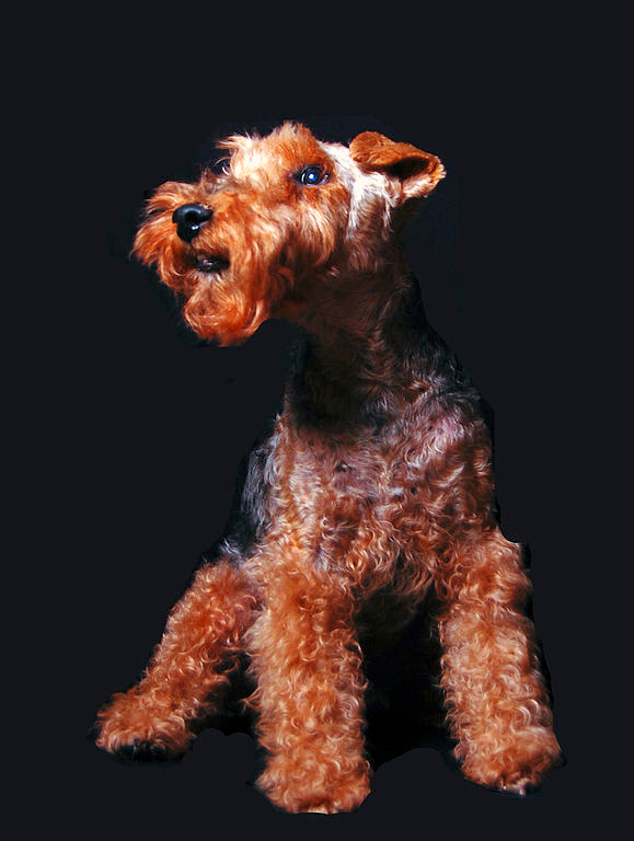 A Champion Welsh Terrier of 2001-2002 poses with stature against a black background.