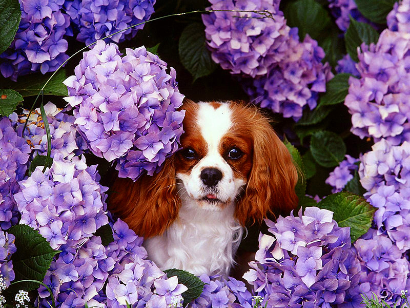 The Cavalier King Charles Spaniel is a toy breed with a big heart and loves being around people.