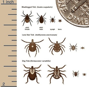 A drawing showing the relative sizes of the different stages of Deer Ticks that cause Lyme disease. A dime is shown at the top right for a comparison.