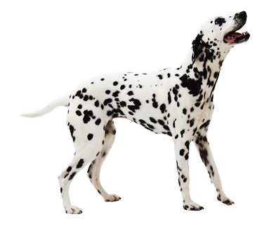 A Dalmatian dog is standing alone with a happy expression on its face.