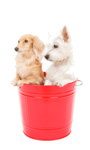 A tan colored Dachshund and a young West Highland Terrier are standing together in a rose colored metal bucket.