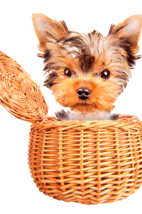 A tiny Yorkshire Terrier puppy popped its head out of a tan wicker basket.