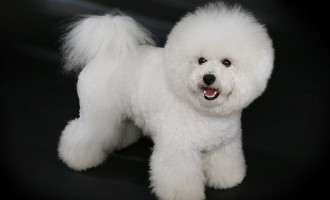 The Bichon Frise is one of the 10 best breeds of dogs for children.