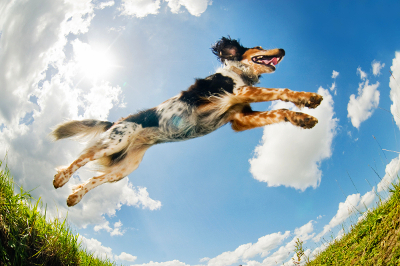 A spaniel type dog is caught from a fabulous vantage angle capturing the dog jumping over a burrow in the yard.