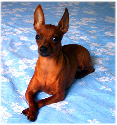 A tan Miniature Pinscher is sitting with forelimbs crossed on a light blue floral pattern bed sheet.