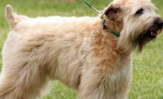 The soft coated Wheaten Terrier is also one of the 10 best breeds of dogs for children.
