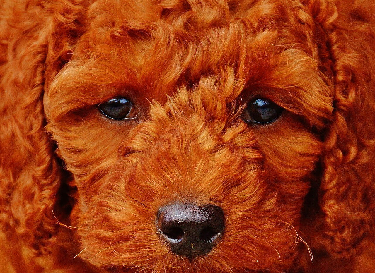 The personality of pets often depends upon the color of the haircoat.